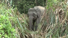 Bornean Pygmy Elephant feeding by the river filmed from boat 7 Stock Footage