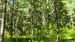Forest landscape, russian taiga, 4k Stock Footage