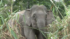 Bornean Pygmy Elephant feeding by the river filmed from boat 6 Stock Footage
