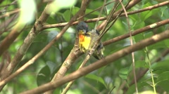 Borneo Yellow-rumped Flowerpecker cleaning feathers 1 Stock Footage