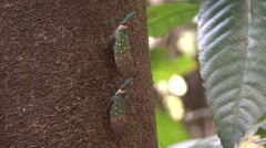 Chinese Lantern Bugs on tree trunk Stock Footage