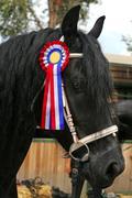 Award winning friesian stallion  during celebration Stock Photos