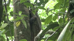 Colugo baby looking around 2 Stock Footage