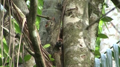 Colugo baby looking around 4 Stock Footage