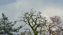 seagulls sitting on bare branches dry tree, 4k - stock footage