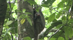 Colugo baby looking around 3 Stock Footage