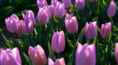 Pink tulipes planted in line in full size under soft sunlight. Holland - stock footage