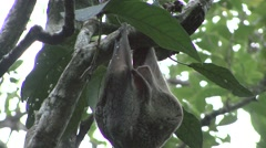 Colugo female cleaning fur 3 Stock Footage