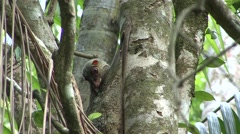 Colugo female hang in tree 3 Stock Footage
