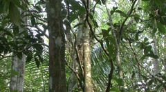 Colugo female hang in tree 4 Stock Footage