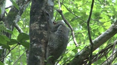 Colugo female hang in tree 2 Stock Footage