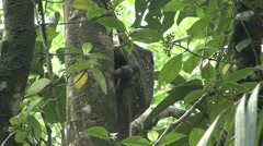 Colugo female with baby hang in tree 2 Stock Footage