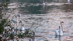 Flock of swans swiming on river - nice evening light Stock Footage