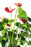 Red anthurium, isolated on white background - stock photo