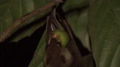 Dusky Fruit Bat feeding on fig fruit  3 Stock Footage