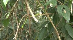 Green Vine Snake hang in tree 1 Stock Footage