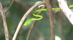Green Vine Snake hang in tree 4 Stock Footage