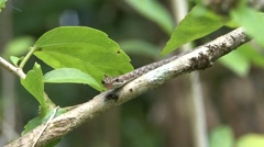 Keel-bellied Vine Snake move in tree and smell with tongue 1 Stock Footage