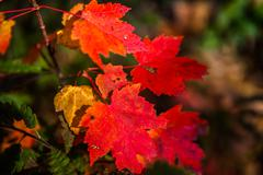 Red and amber maple leafs - stock photo