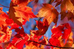 Maple fall colours - stock photo