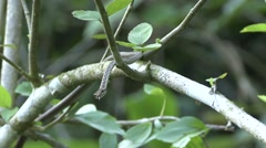 Keel-bellied Vine Snake move in tree and smell with tongue 4 Stock Footage