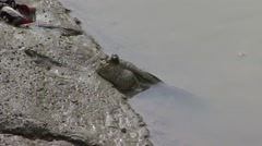 Mudskipper on sandbank in mangrove forest Stock Footage
