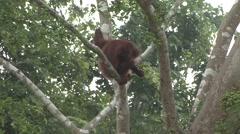 Orang-Utan female feed on fig fruit filmed from boat 1 - stock footage