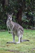 Eastern Grey Kangaroo (Macropus giganteus) Stock Photos