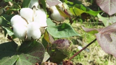 COTTON on the farm ready to be picked Stock Footage