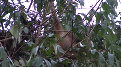 Orang-Utan juvenile moving around in nest 2 - stock footage