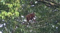 Orang-Utan juvenile cross on liana Stock Footage