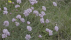 4K S-log 2 blurred purple clover blooms come into focus with yellow buttercups Stock Footage