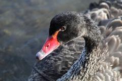 Black Swan (Cygnus atratus) Stock Photos
