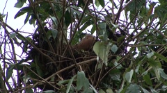 Orang-Utan juvenile sit in nest eating looking around 1 Stock Footage