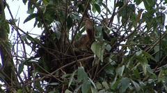 Orang-Utan juvenile sit in nest 1 Stock Footage