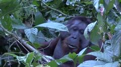 Orang-Utan male feeding in bush on the ground 3 Stock Footage