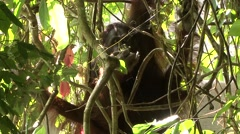 Orang-Utan male feeding in tree 1 Stock Footage