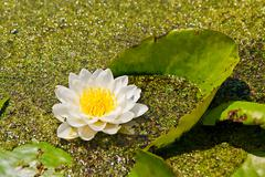 White lily floating on water and duckweed as background Stock Photos