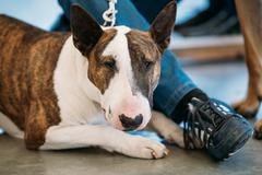 Brown and White Dog Bullterrier - stock photo