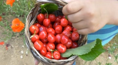 Child holding basket full fresh fruit cherries spring organic healthy future Stock Footage
