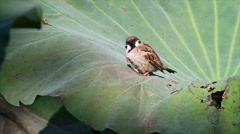 Tree sparrow Stock Footage