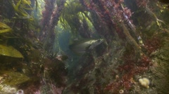 Pollok hunting in kelp Stock Footage
