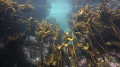 Kelp swaying back and forth in current underwater Stock Footage