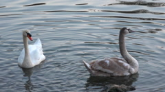 Beautyfull grey swan deploying his wings - slow motion Stock Footage