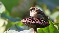 Tree sparrow bird on a leaf Stock Footage