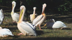 White pelicans sitting on the river bank Stock Footage
