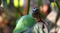 Tree sparrow bird Stock Footage