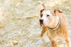 American staffordshire terrier dog playing in water. Stock Photos