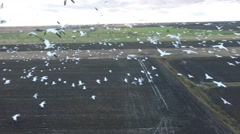 Flying with snow geese in slow motion aerial Stock Footage
