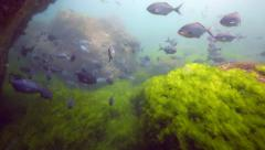 Stock Video Footage of School of blue maomao (Scorpis violacea) swimming in current underwater
